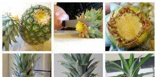Cultivar ananás