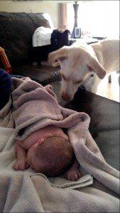 Labrador põe bebe para dormir