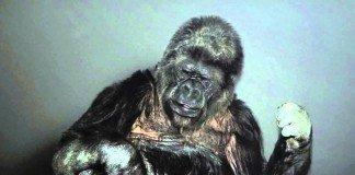 Unico gorila