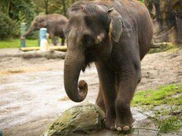 Elefanta violada