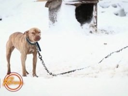Pitbull acorrentado