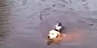 Cão salva gato sem hesitar