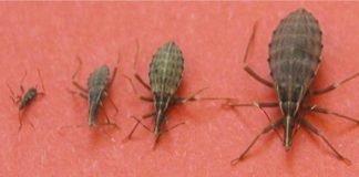 Se vires esse inseto em tua casa