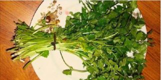 Coentro - excelente erva