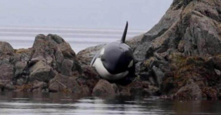 Baleia assassina fica presa e chora. Vê o fantástico resgate.