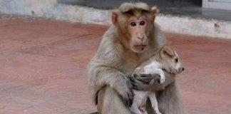 Macaco adopta cão abandonado