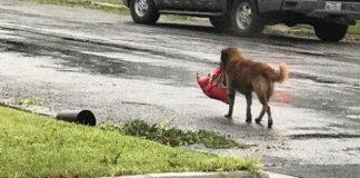 Animal a fugir com saco de ração
