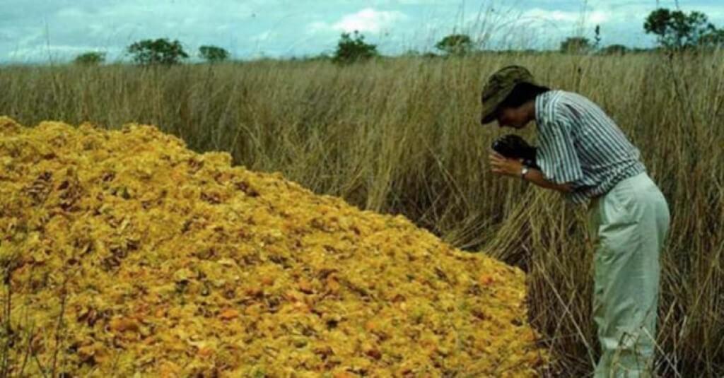 Cascas de laranja