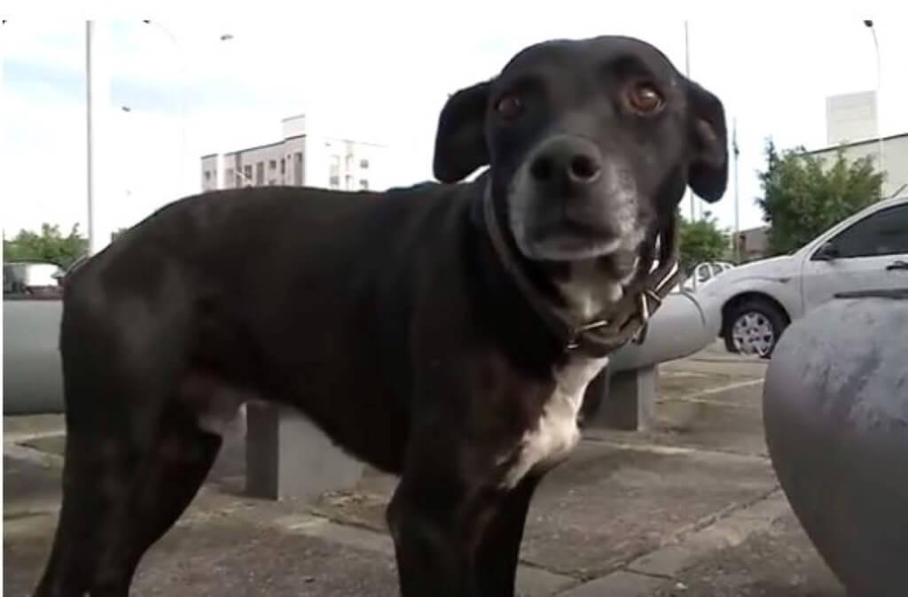 cão corre sempre que ouve ambulância