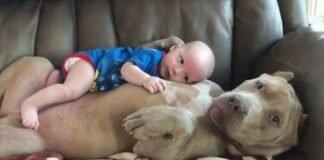 Pitbull 'adopta' bebé