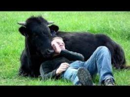 Homem salvou um touro de ir para as touradas