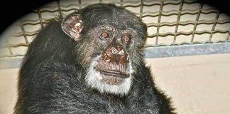 Chimpanzé doente