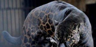 jaguar-negro