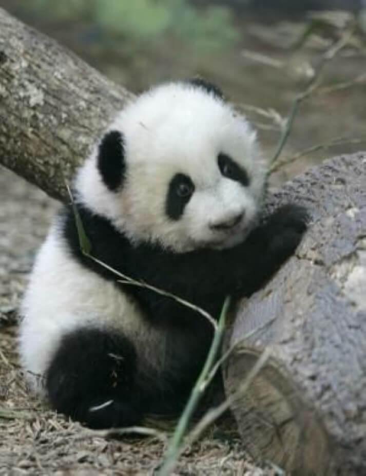 menor panda do mundo