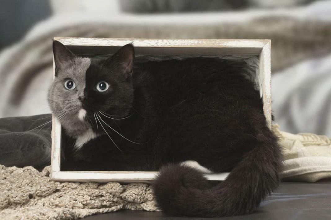 gato raro com duas faces