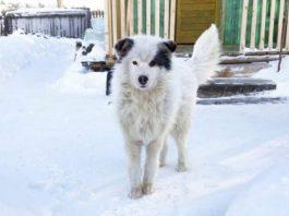 cão coberto de neve