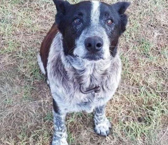 Cão de idade salvou uma menina